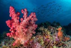 Zacht koraal met vissenondiepte op de achtergrond, Calanggaman Stock Foto