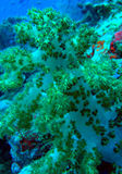 Zacht koraalrif Royalty-vrije Stock Foto