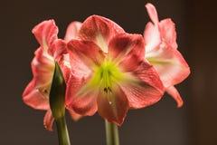 Zacht nadrukbeeld van bloemen van volledige bloei de roze amarylis royalty-vrije stock foto's