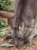 Zacht Oostelijk Grey Kangaroo Nibbling Grass royalty-vrije stock foto