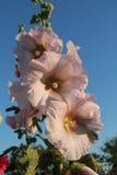Zacht roze stokroos 1 Stock Afbeeldingen