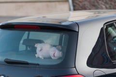 Zacht stuk speelgoed in de auto, in de vorm van een varken, een varken achter het wiel royalty-vrije stock foto