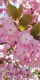 Zachte achtergrond Bloeiende amandelen Mooie clusters van roze bloemen royalty-vrije stock foto's