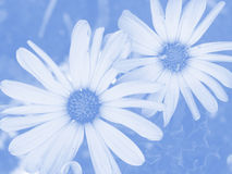 Zachte Blauwe Daisy Floral Background Stock Foto's