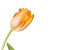 Zachte gele tulp die op wit wordt geïsoleerdt Stock Afbeelding