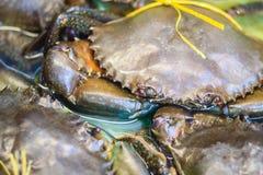 Zachte geschilde Getande modderkrab (Mangrovekrab, Zwarte krab) voor s Stock Foto's