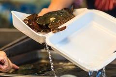 Zachte geschilde Getande modderkrab (Mangrovekrab, Zwarte krab) voor s Royalty-vrije Stock Foto