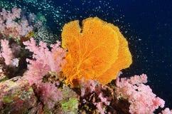 Zachte koraalkolonie, Similan-eiland stock afbeeldingen