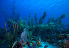 Zachte Koralen dichtbij Largo Cayo, Cuba Royalty-vrije Stock Afbeelding
