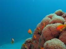 Zachte koralen en anthias Royalty-vrije Stock Fotografie