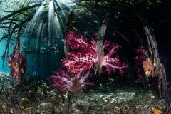 Zachte Koralen, Mangrove, en Zonlicht in Raja Ampat Stock Afbeeldingen