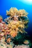 Zachte koralen, Pescador-Eiland, Moalboal Stock Afbeeldingen