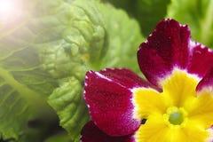 Zachte nadruk Het rood met gele violette bloemen sluit omhoog royalty-vrije stock foto