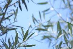 Zachte nadruk Olive Leaf Leaves met blauwe hemelachtergrond 1 royalty-vrije stock foto's