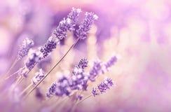 Zachte nadruk op lavendelbloem Royalty-vrije Stock Afbeeldingen