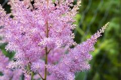 Zachte nadruk op lavendelbloem, mooie lavendelbloem Stock Afbeelding