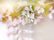 Zachte nadruk op tak van kers het tot bloei komen stock fotografie