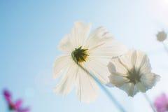 Zachte nadruk van de witte Kosmos Bipinnatus van kosmosbloemen in g Royalty-vrije Stock Afbeelding