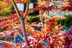 Zachte nadruk van rode de esdoornbladeren van acerpalmatum in Japan Stock Fotografie