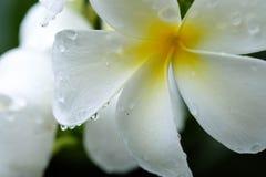 Zachte nadrukdalingen op witte plumeria Royalty-vrije Stock Afbeeldingen