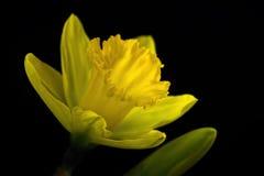 Zachte Narcissen royalty-vrije stock afbeeldingen