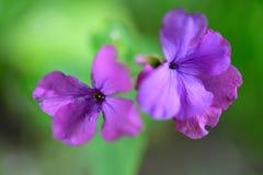 Zachte zachte purpere bloemen van de Satijnbloem stock foto