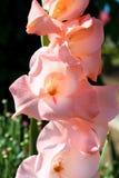 Zachte romantische gladiolen Royalty-vrije Stock Afbeeldingen