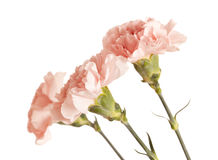 Zachte roze anjerbloem Stock Fotografie