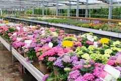 Zachte roze de installatiesserre van Hydrangea hortensiahortensia, Nederland Royalty-vrije Stock Foto