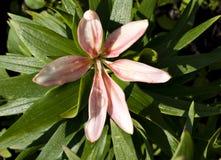 Zachte roze Lelie met dalingen van dauw Royalty-vrije Stock Fotografie