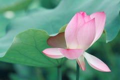 Zachte roze lotusbloem royalty-vrije stock fotografie