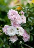 Zachte roze nam in de tuin toe Stock Afbeelding