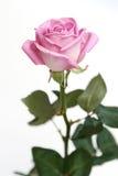 Zachte roze nam op wit ba toe Royalty-vrije Stock Foto