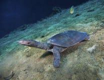 Zachte Shell Turtle - de Gangen neigen neer Stock Foto's