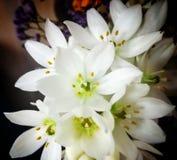 zachte sneeuw witte bloemen Stock Afbeeldingen
