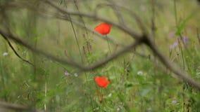 Zachte wildflowers, het wild Gebied met wildflowers en groen gras stock videobeelden