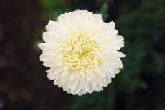 Zachte witte chrysantemumbloem in volledige bloei tegen donkergroen Royalty-vrije Stock Afbeeldingen