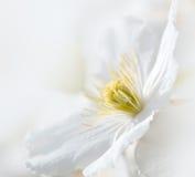 Zachte witte clematissenbloem Stock Foto