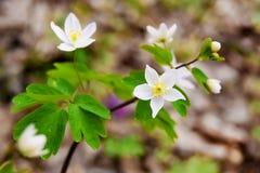 Zachte witte de lentebloemen, de heldere lente day_ Royalty-vrije Stock Fotografie