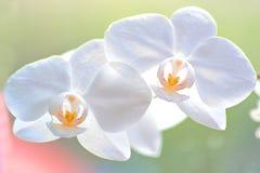 Zachte witte orchideeën Stock Foto's