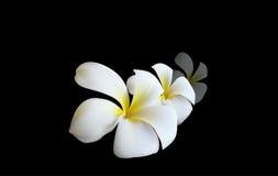 Zachte witte Orchidee als symbool van ontspanning Royalty-vrije Stock Fotografie