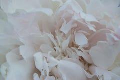 Zachte witte pioenbloemblaadjes stock fotografie