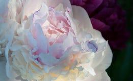 zachte witte pioenbloemblaadjes stock afbeelding