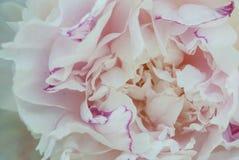 Zachte witte pioenbloemblaadjes stock foto