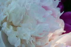 Zachte witte pioenbloemblaadjes royalty-vrije stock fotografie