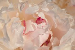 Zachte witte pioenbloemblaadjes royalty-vrije stock foto