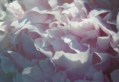 Zachte witte pioenbloemblaadjes royalty-vrije stock foto's
