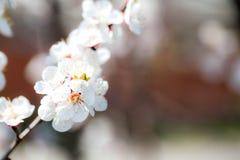 Zachte witte pruimbloesems die in de de lentetuin bloeien op rug royalty-vrije stock afbeelding