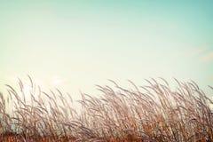 Zachtheids wit pluimgras met retro blauwe hemelruimte Stock Fotografie