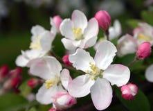 Zacken Sie Apple-Blüten aus Stockfoto